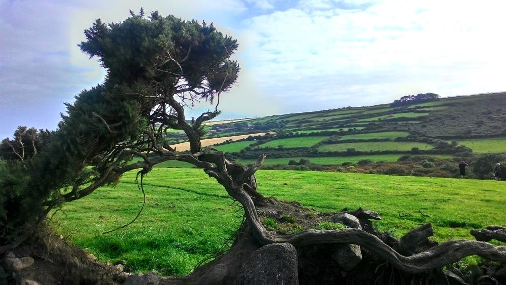 Zakrslý strom rostlý ve větru