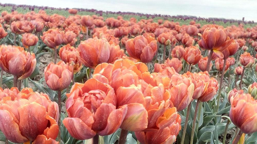 tulipanova16