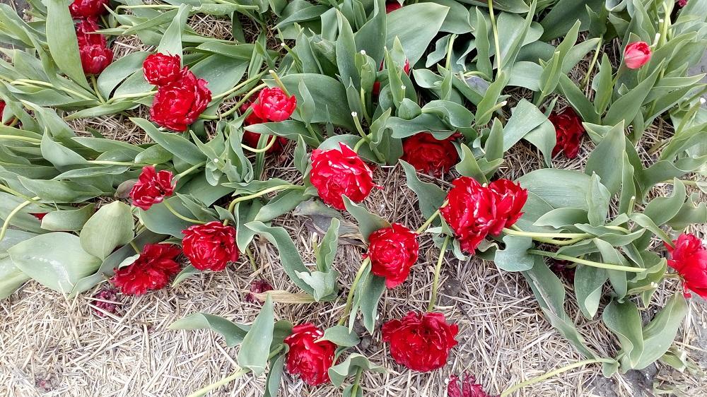 tulipanova2