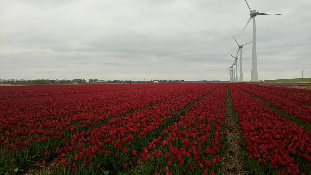 tulipanova8