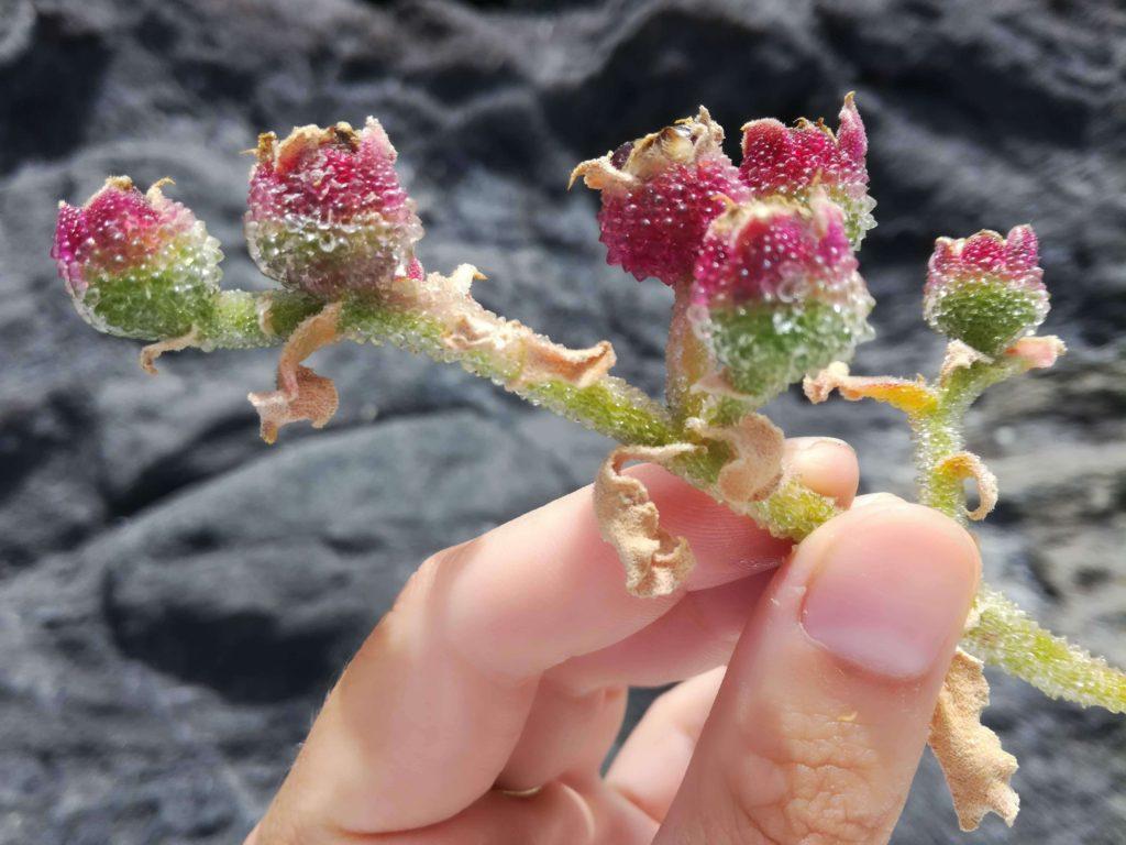 Místní plevel, který vypadá jako zmrzlá květina