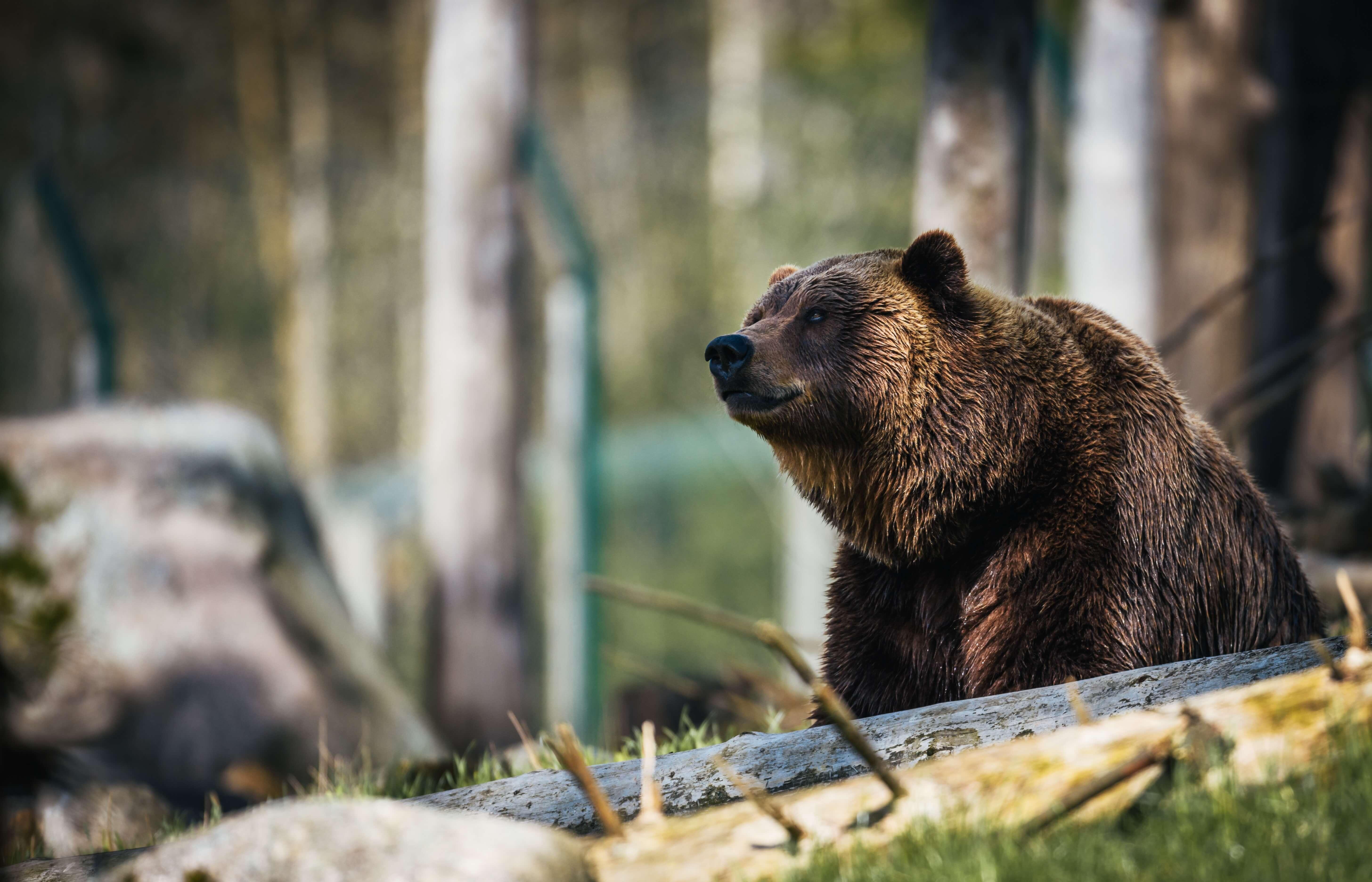 Setkání s medvědem: Jak se správně zachovat